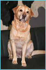 Hund Duke